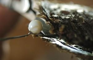 greffe-perles